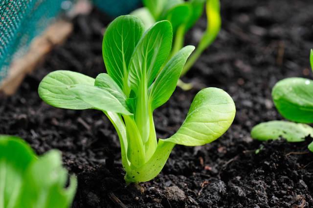 Pak Choi growing in vegetable garden