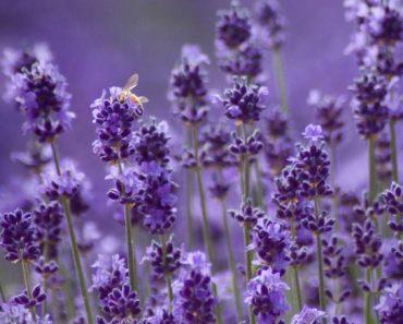 c-304-lavender