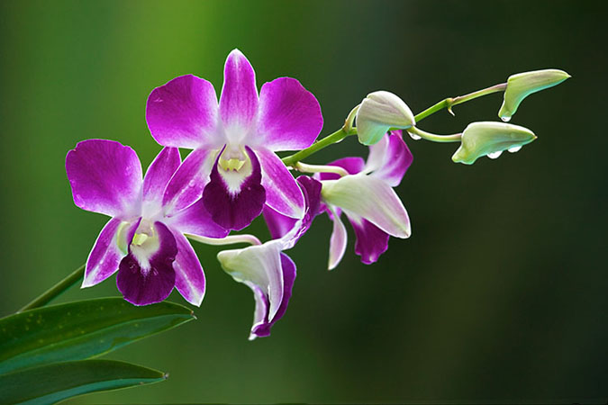 Orchid-Flower-33