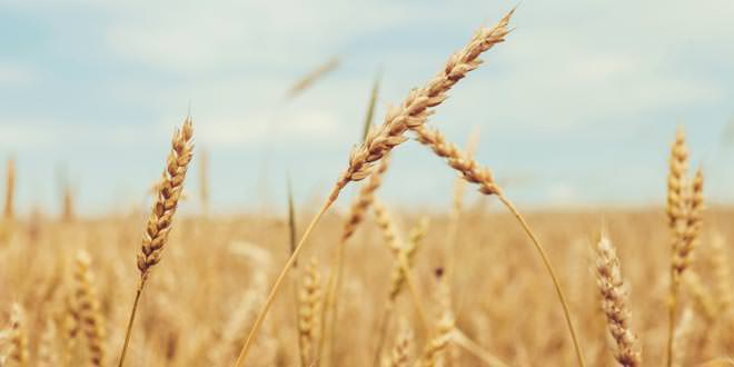 This Is The Real Reason Why Wheat Is Toxic  U0026 Making You
