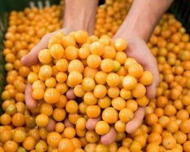 Golden berries fantastic healing power againts cancer