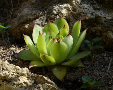 sempervivum plant known as houseleek