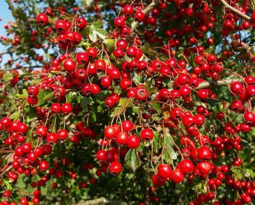 hawthron berries to heal your heart problems